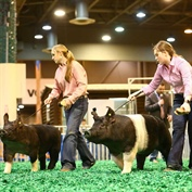 Excitement all around at the 2018 Houston Livestock Show and Rodeo™ Junior Market Barrow Championship Selection