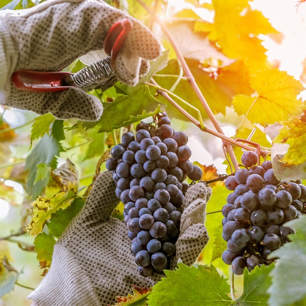 Harvest 101: A Magical Time In Winemaking