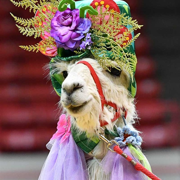 NRG Arena Hosts Unlikely Competitors: Llamas and Alpacas in Costume