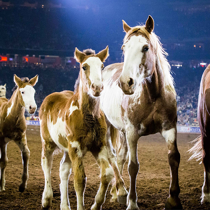 Houston Livestock Show And Rodeo Celebrates Record
