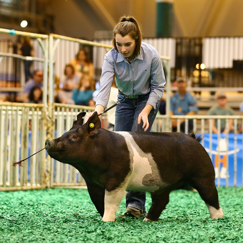 Barrow Champion Selection Houston Livestock Show And Rodeo